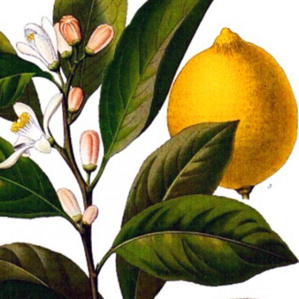 Limoncello: Giardino Rosmarino Perfume Oil
