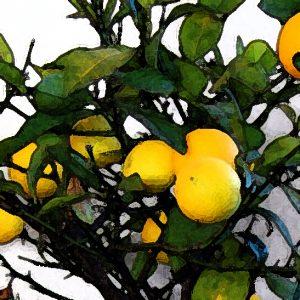 Meyer Lemon Perfume Oil