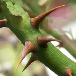 Thorns and All Perfume Oil