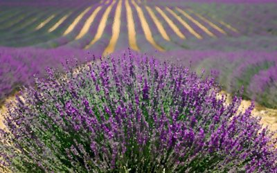 Lavender in the Time of COVID19