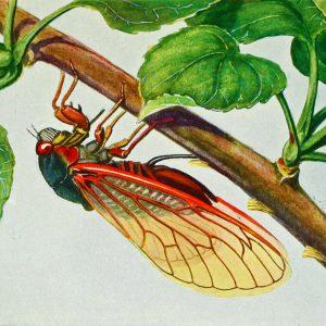Cicada Perfume Oil